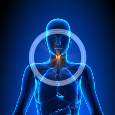 Strottenhoofd - Vrouwelijke Organen