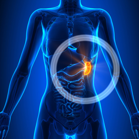 Spleen - Female Organs Standard-Bild