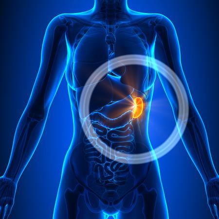 spleen: Spleen - Female Organs Stock Photo