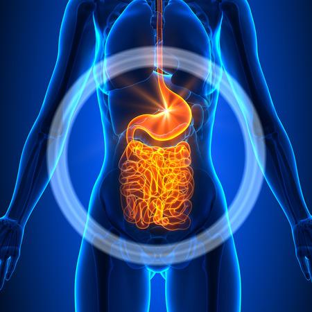 organos internos: Guts - órganos femeninos Foto de archivo