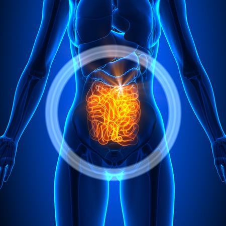cuerpo femenino: Intestino Delgado - hembra �rganos
