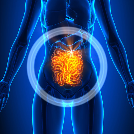 3d small person: Small Intestine - Female Organs Stock Photo