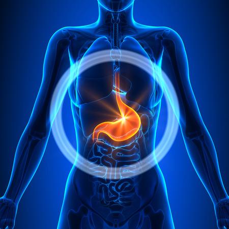 Maag - Vrouwelijke Organen