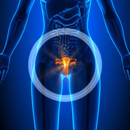 anatomie humaine: Système reproducteur des Femme