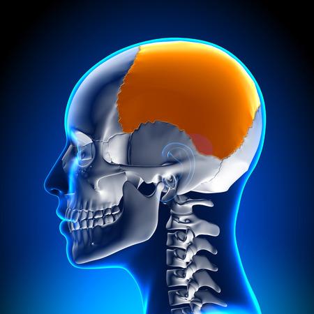 parietal: Female Parietal bone - Skull  Cranium Anatomy