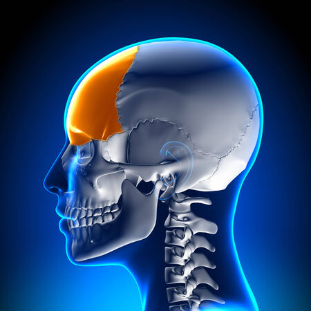 maxilla: Female Frontal Bone - Skull  Cranium Anatomy Stock Photo