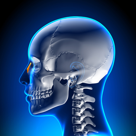 temporal: Female Nasal Bone - Skull  Cranium Anatomy