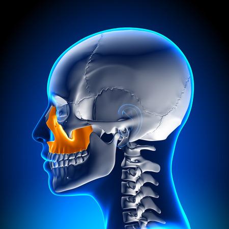 maxilla: Female Maxilla - Skull Anatomy Stock Photo