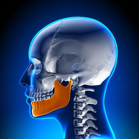 여성 하악골 - 턱 해부학 스톡 콘텐츠