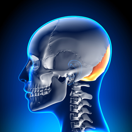 cranium: Female Skull  Cranium - Occipital Bone Stock Photo