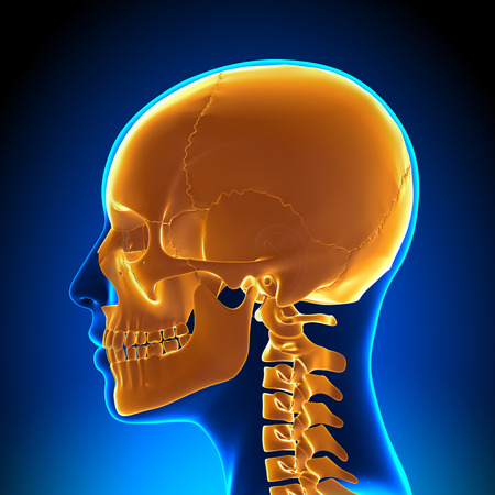 skull cranium: Female Skull  Cranium Anatomy