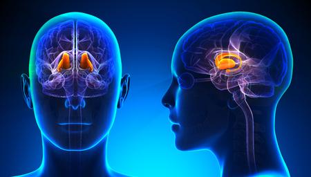thalamus: Female Thalamus Brain Anatomy - blue concept
