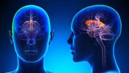 Female Corpus Callosum Brain Anatomy - blue concept Stock Photo