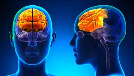 frontal lobe: Female Frontal Lobe Brain Anatomy - blue concept