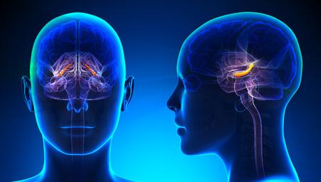 Female Hippocampus Brain Anatomy - blue concept