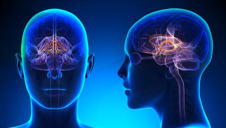 brain anatomy: Female Limbic System Brain Anatomy - blue concept