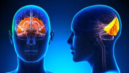 lobe: Female Occipital Lobe Brain Anatomy - blue concept