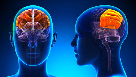 parietal: Female Parietal Lobe Brain Anatomy - blue concept Stock Photo