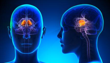 basal ganglia: Female Basal Ganglia Brain Anatomy - blue concept