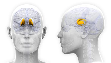 thalamus: Female Thalamus Brain Anatomy - isolated on white