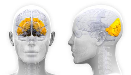 occipital: Female Occipital Lobe Brain Anatomy - isolated on white Stock Photo