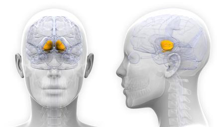basal ganglia: Female Basal Ganglia Brain Anatomy - isolated on white