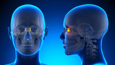 lacrimal: Female Lacrimal Skull Anatomy - blue concept