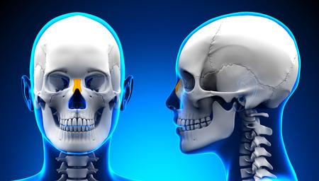 nasal: Female Nasal Bone Skull Anatomy - blue concept