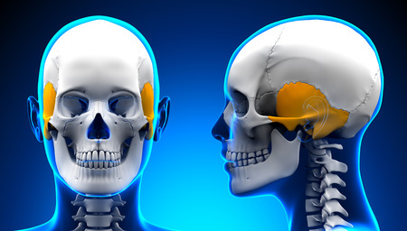 temporal: Female Temporal Bone Skull Anatomy - blue concept Stock Photo