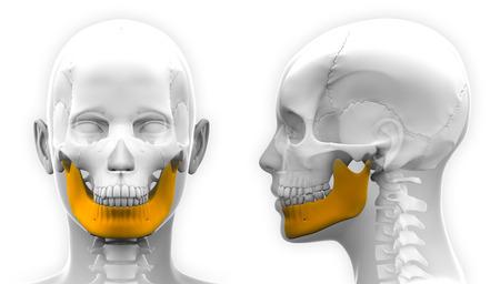Female Mandible Bone Skull Anatomy - isolated on white Stock Photo