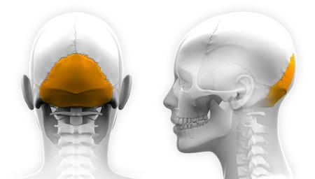 occipital: Female Occipital Bone Skull Anatomy - isolated on white