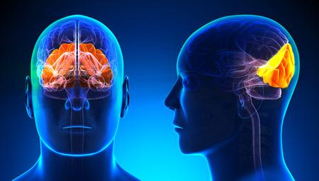 cerebro humano: Hombre lóbulo occipital del cerebro Anatomía - azul concepto Foto de archivo