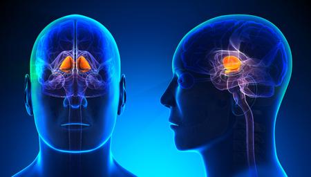 basal ganglia: Male Basal Ganglia Brain Anatomy - blue concept