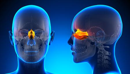ethmoid: Female Ethmoid Skull Anatomy - blue concept
