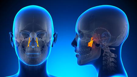 palatine: Female Palatine Skull Anatomy - blue concept
