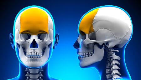 frontal: Female Frontal Bone Skull Anatomy - blue concept