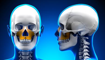 maxilla: Female Maxilla Bone Skull Anatomy - blue concept