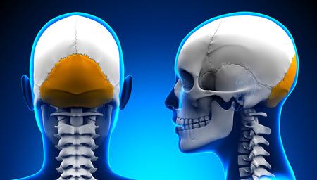occipital: Female Occipital Bone Skull Anatomy - blue concept