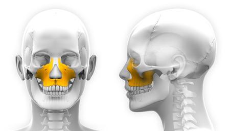 maxilla: Female Maxilla Bone Skull Anatomy - isolated on white