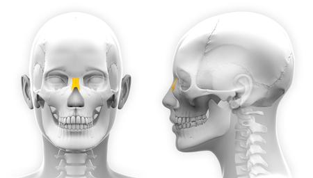 nasal: Female Nasal Bone Skull Anatomy - isolated on white