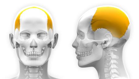 parietal: Female Parietal Bone Skull Anatomy - blue concept