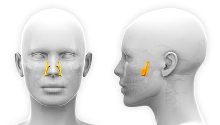 palatine: Female Palatine Skull Anatomy - isolated on white