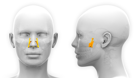 Female Palatine Skull Anatomy - isolated on white
