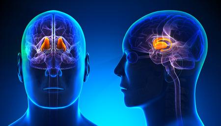 thalamus: Male Thalamus Brain Anatomy - blue concept
