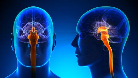 medula espinal: Hombre de la m�dula espinal de la anatom�a - azul concepto Foto de archivo