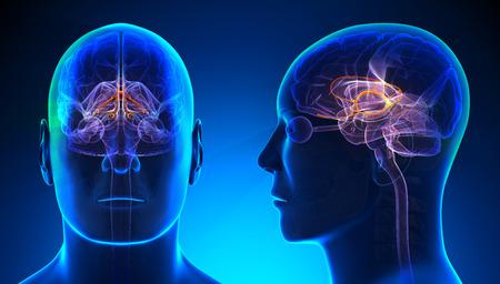 Male Limbic System Brain Anatomy - blue concept Standard-Bild