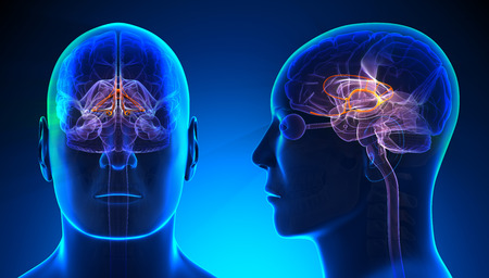 Male Limbic System Brain Anatomy - blue concept Stock Photo