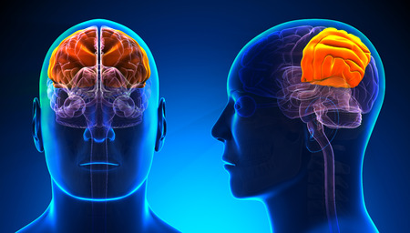 parietal: Male Parietal Lobe Brain Anatomy - blue concept
