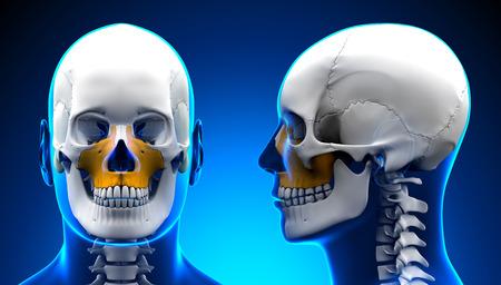 maxilla: Male Maxilla Bone Skull Anatomy - blue concept