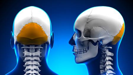 occipital: Male Occipital Bone Skull Anatomy - blue concept